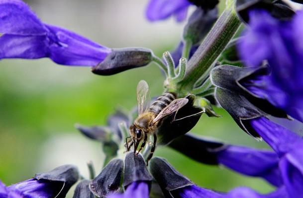 honeybees.png